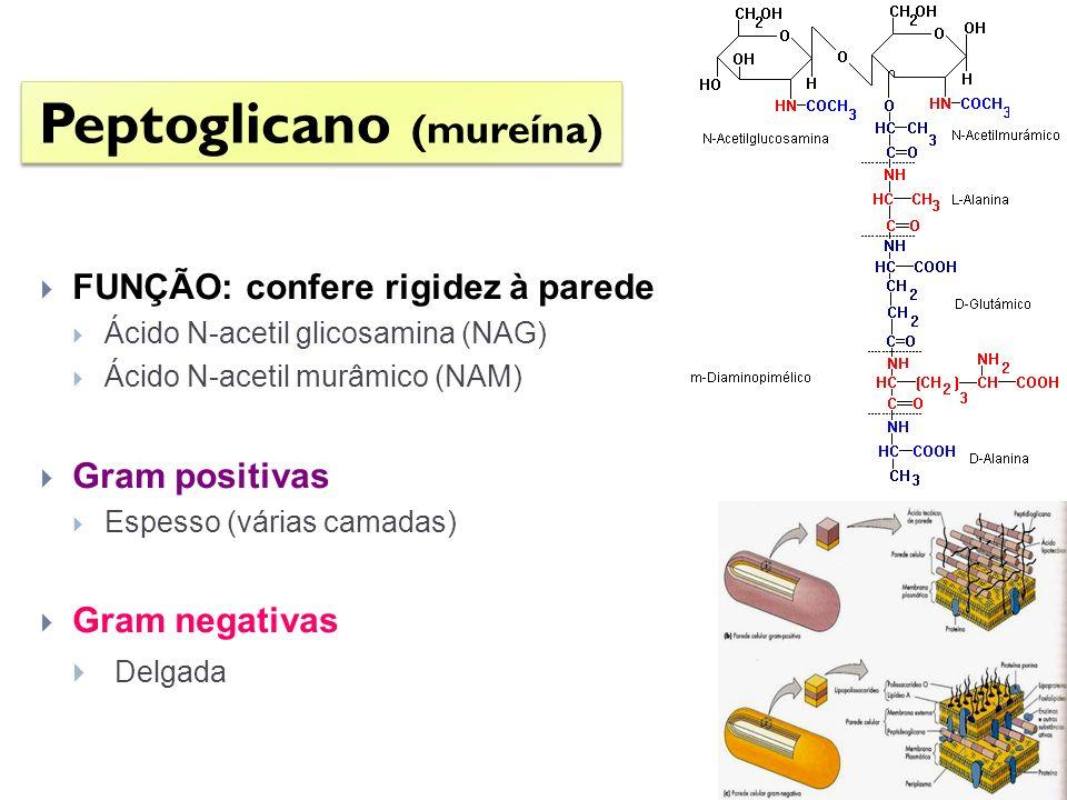 FUNÇÃO: confere rigidez à parede Ácido N-acetil glicosamina (NAG) Ácido N-acetil murâmico (NAM) Gram positivas Espesso (várias camadas) Gram negativas