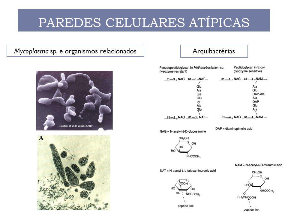 PAREDES CELULARES ATÍPICAS ArquibactériasMycoplasma sp. e organismos relacionados