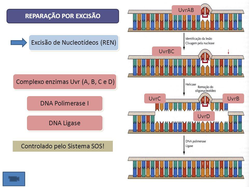 Excisão de Nucleotídeos (REN) REPARAÇÃO POR EXCISÃO Complexo enzimas Uvr (A, B, C e D) DNA Polimerase I DNA Ligase Controlado pelo Sistema SOS! UvrCUv