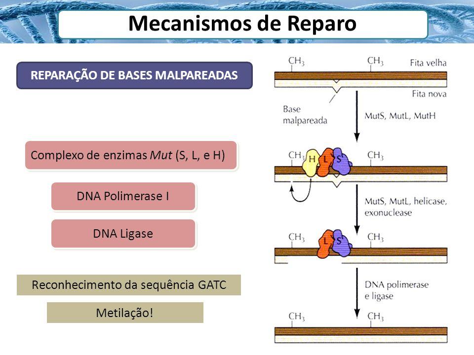 Mecanismos de Reparo REPARAÇÃO DE BASES MALPAREADAS Complexo de enzimas Mut (S, L, e H) DNA Polimerase I DNA Ligase Reconhecimento da sequência GATC M