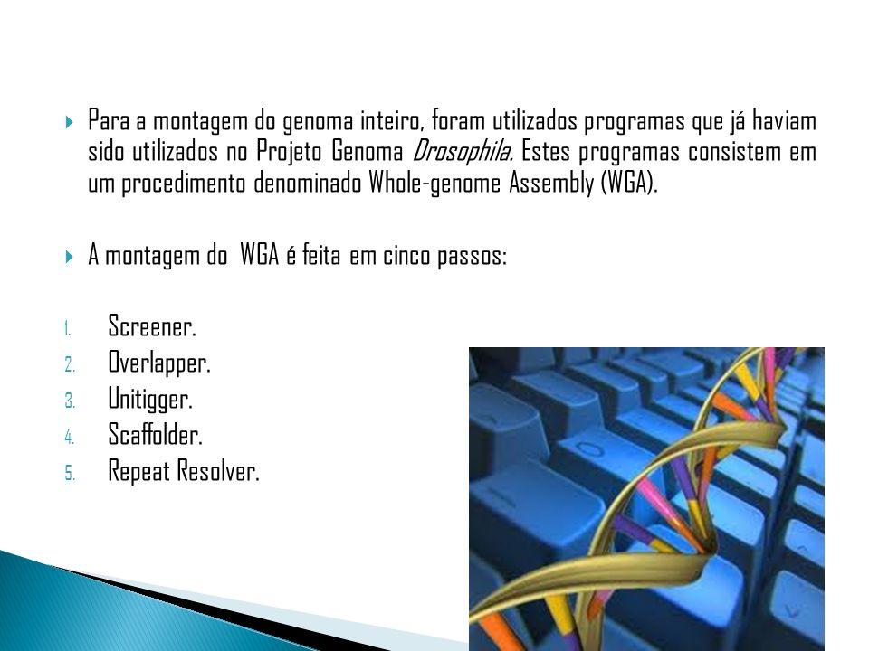 Para a montagem do genoma inteiro, foram utilizados programas que já haviam sido utilizados no Projeto Genoma Drosophila. Estes programas consistem em