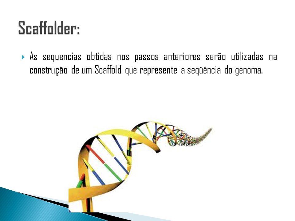 As sequencias obtidas nos passos anteriores serão utilizadas na construção de um Scaffold que represente a seqüência do genoma.