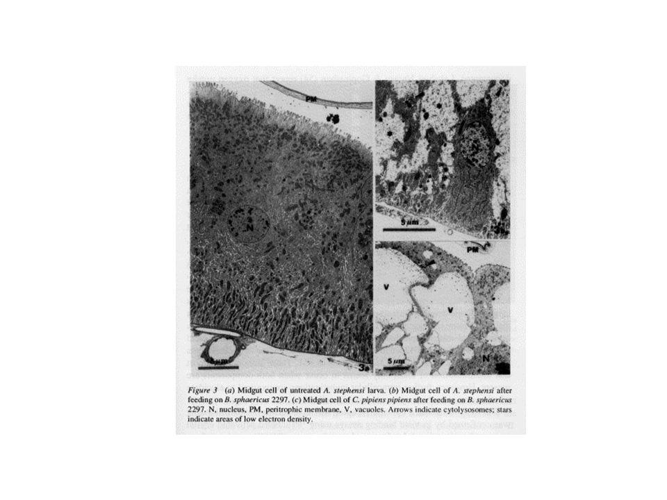 Conseqüências: inchaço da parte posterior do intestino médio vacúolos nas células epiteliais do intestino expansão mitocondrial inibição da captação do oxigênio por mitocôndrias inib.da acetil colina transferase lise celular danos ao tecido nervoso e músculos esqueléticos Sintomas: interrupção da alimentação tremores dificuldades de locomoção morte entre 4-48 horas