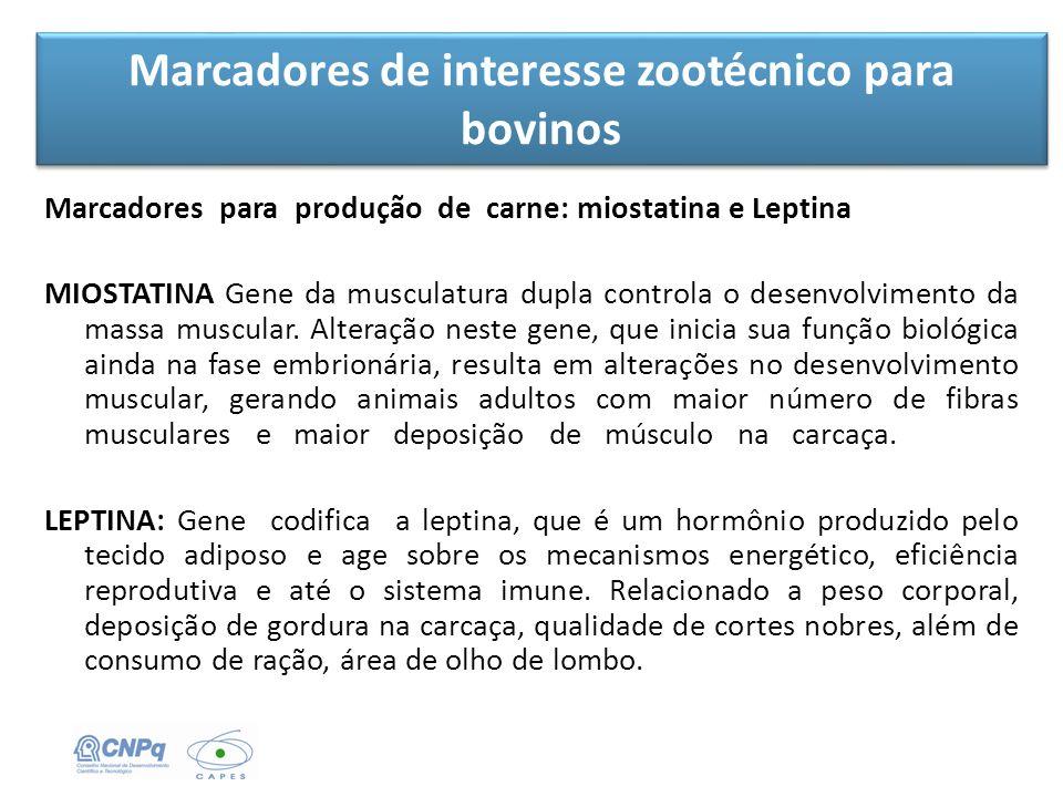 Marcadores de interesse zootécnico para bovinos Marcadores para produção de carne: miostatina e Leptina MIOSTATINA Gene da musculatura dupla controla