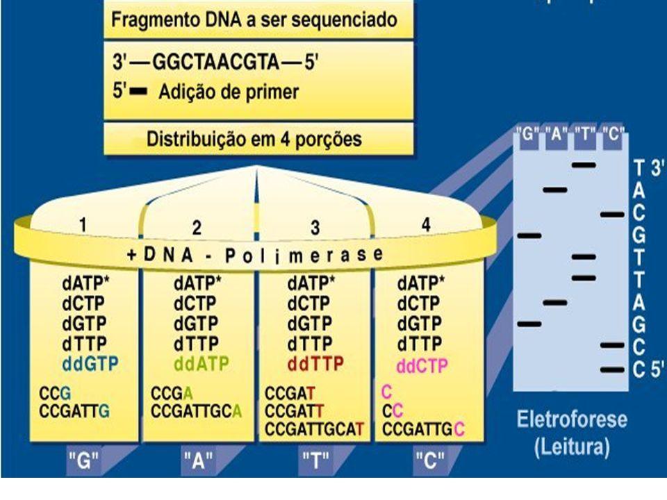 Reação de seqüenciamento fragmento de DNA (fita simples) 1 primer DNA polimerase dNTPs ddNTPs OH H