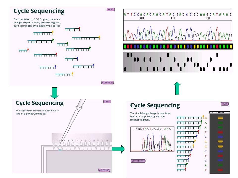 Reação de sequenciamento e leitura automatizada denaturação anelamento dos primers