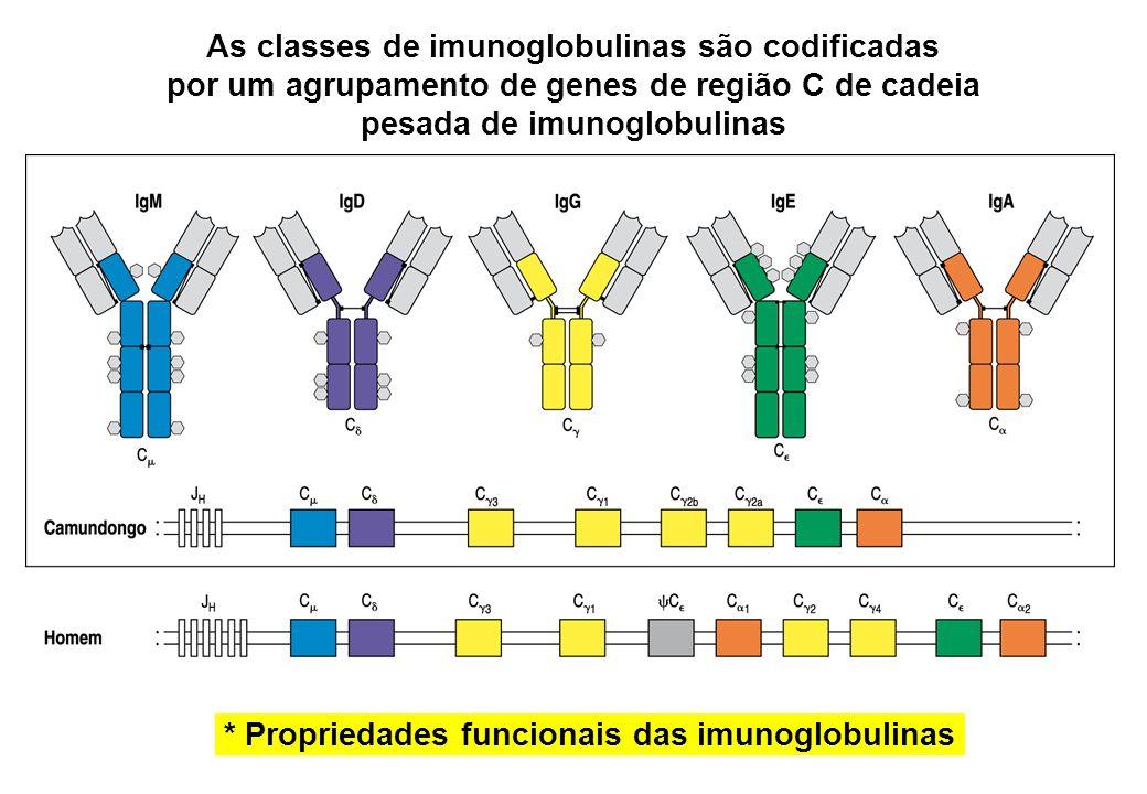 As classes de imunoglobulinas são codificadas por um agrupamento de genes de região C de cadeia pesada de imunoglobulinas * Propriedades funcionais da