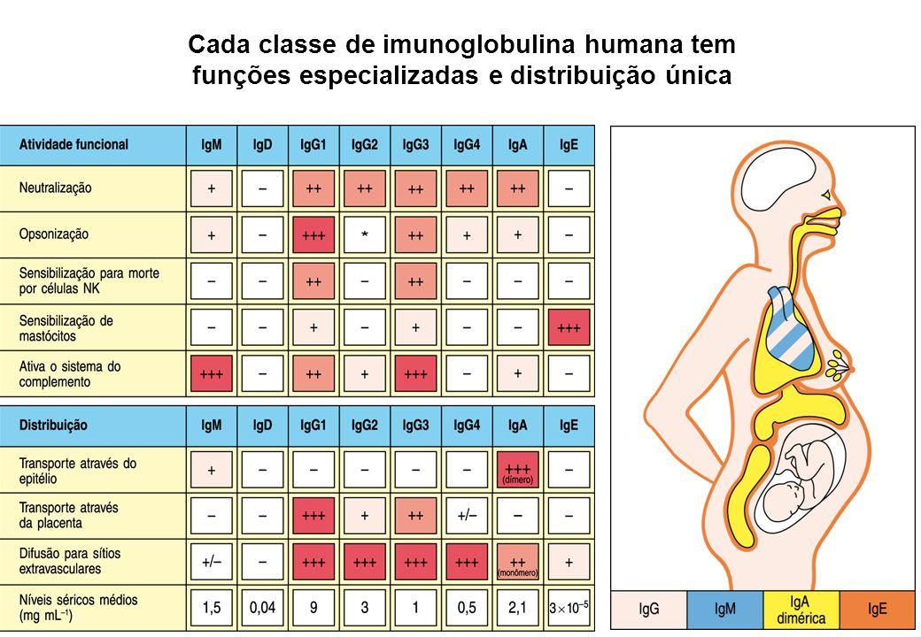 Cada classe de imunoglobulina humana tem funções especializadas e distribuição única