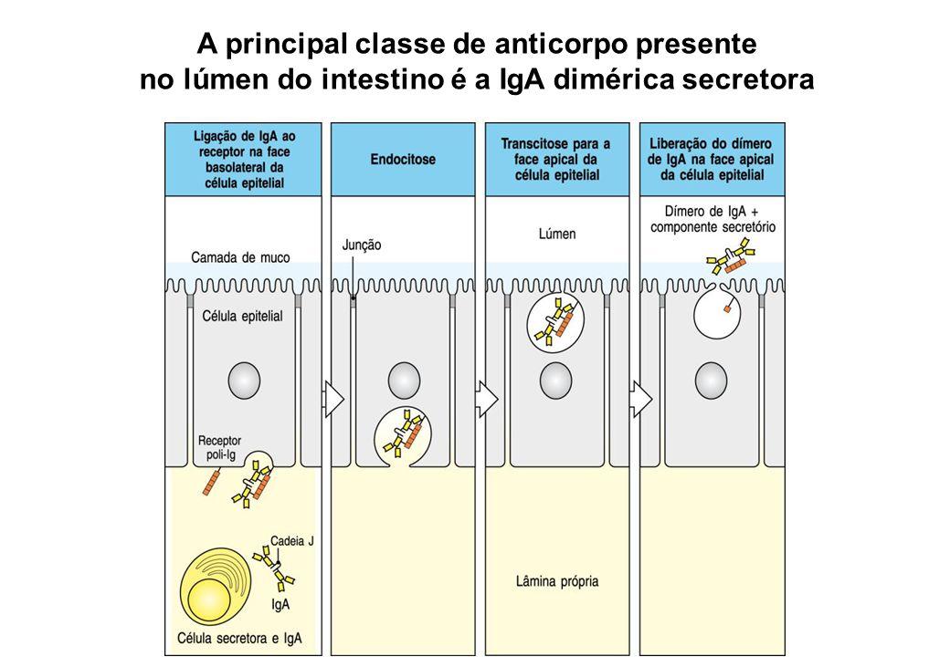 A principal classe de anticorpo presente no lúmen do intestino é a IgA dimérica secretora