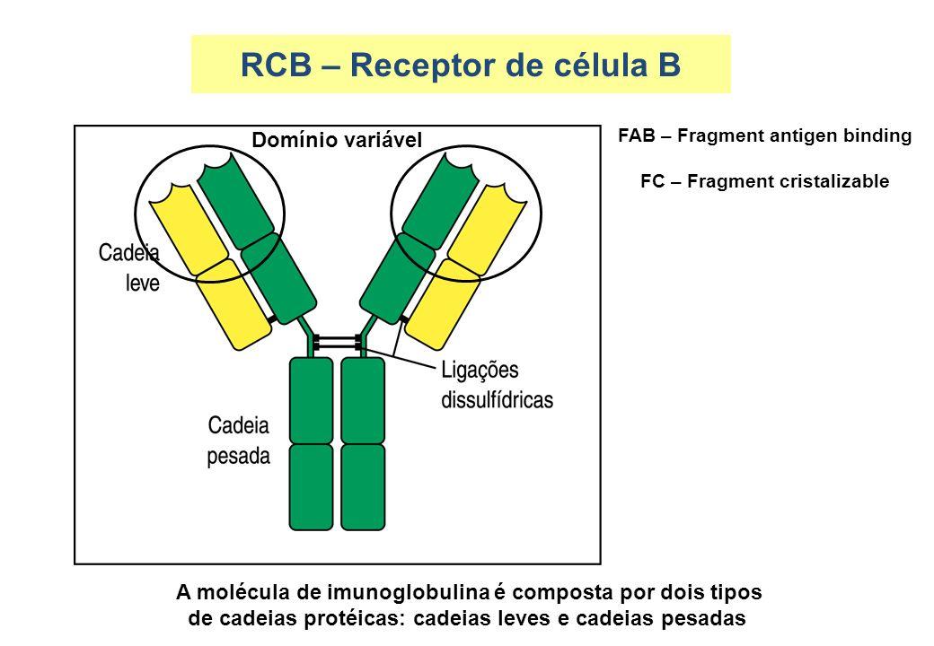 A molécula de imunoglobulina é composta por dois tipos de cadeias protéicas: cadeias leves e cadeias pesadas RCB – Receptor de célula B Domínio variáv