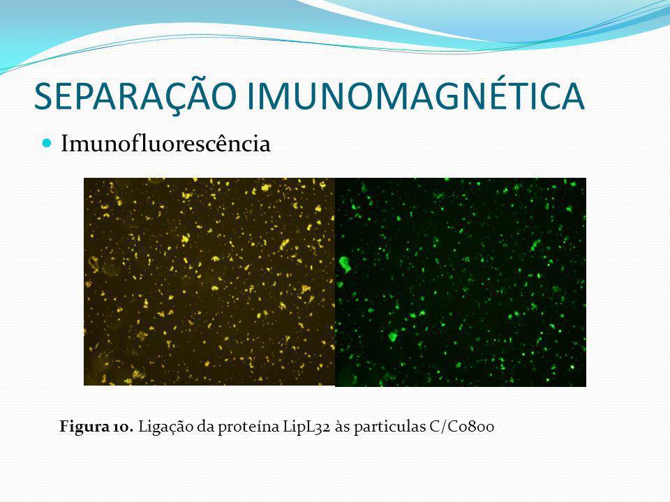 SEPARAÇÃO IMUNOMAGNÉTICA Imunofluorescência Figura 10. Ligação da proteína LipL32 às particulas C/Co800