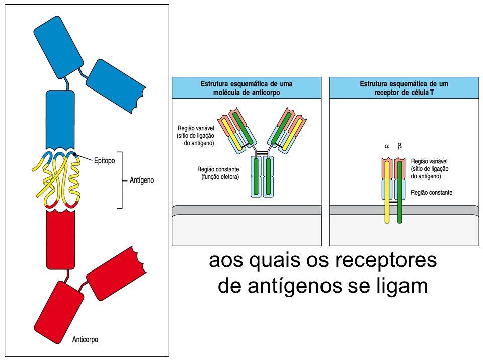 Os antígenos (Ag) são as moléculas reconhecidas pela resposta imune enquanto os epítopos são sítios nos antígenos aos quais os receptores de antígenos se ligam