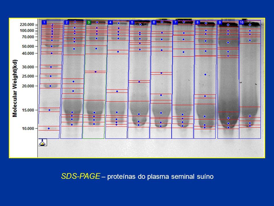 SDS-PAGE – proteínas do plasma seminal suíno