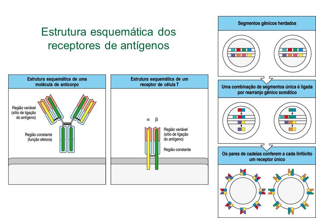 Estrutura esquemática dos receptores de antígenos