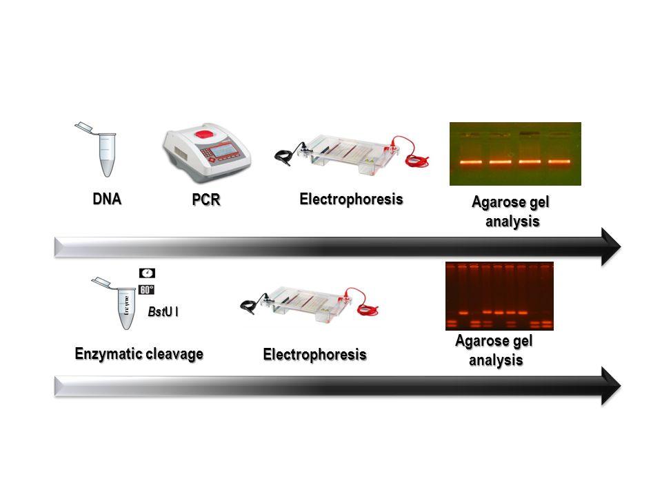 digestão–AciIouSfcI DNA PCR eletroforeseaná lise em gel eletroforese Enzymatic cleavage Bst U I DNA PCR Electrophoresis Electrophoresis Enzyme Agarose