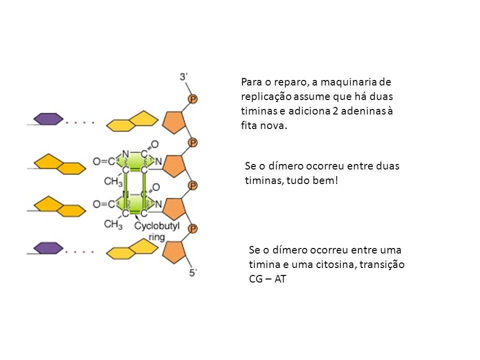Para o reparo, a maquinaria de replicação assume que há duas timinas e adiciona 2 adeninas à fita nova. Se o dímero ocorreu entre duas timinas, tudo b