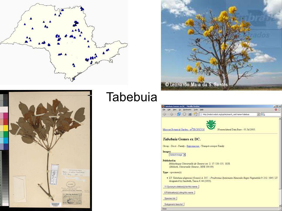 Tabebuia