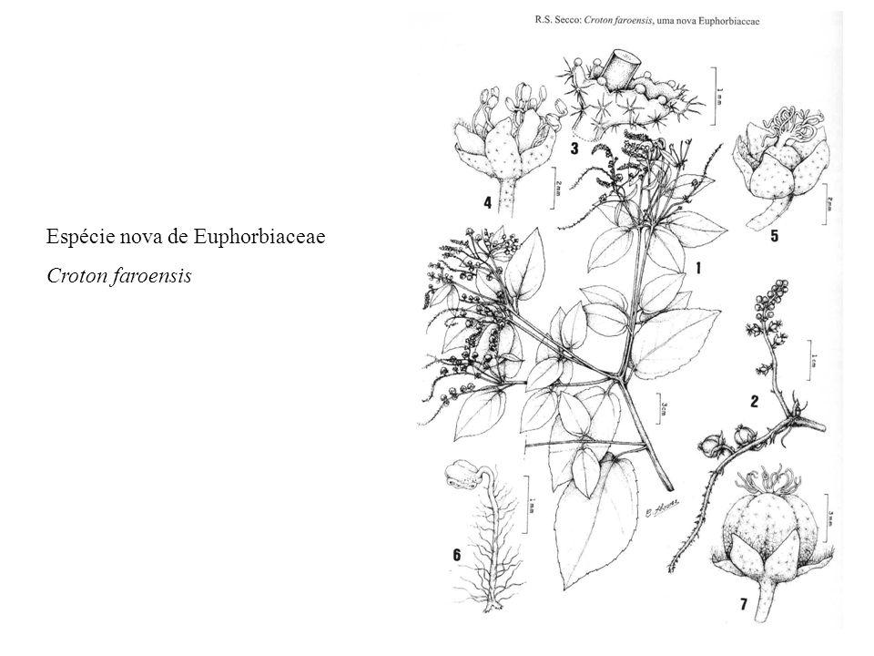 Espécie nova de Euphorbiaceae Croton faroensis