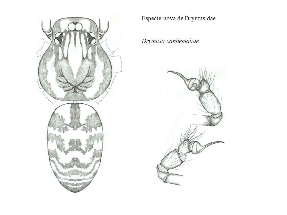 Especie nova de Drymusidae Drymusa canhemabae