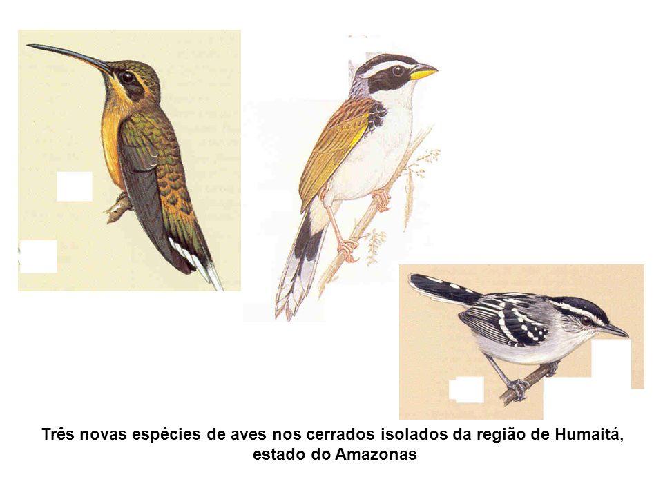 Três novas espécies de aves nos cerrados isolados da região de Humaitá, estado do Amazonas