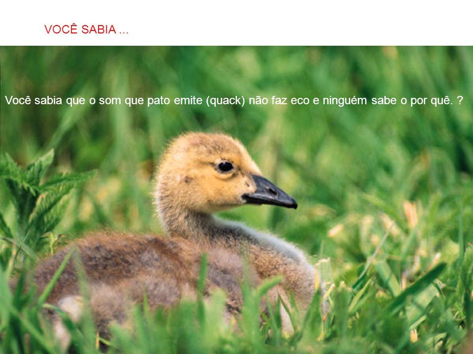 SABIAS QUE… Você sabia que o som que pato emite (quack) não faz eco e ninguém sabe o por quê. ? VOCÊ SABIA...