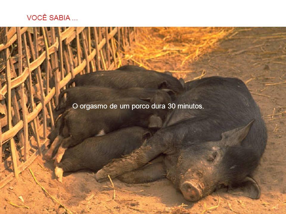 SABIAS QUE… O orgasmo de um porco dura 30 minutos. VOCÊ SABIA...