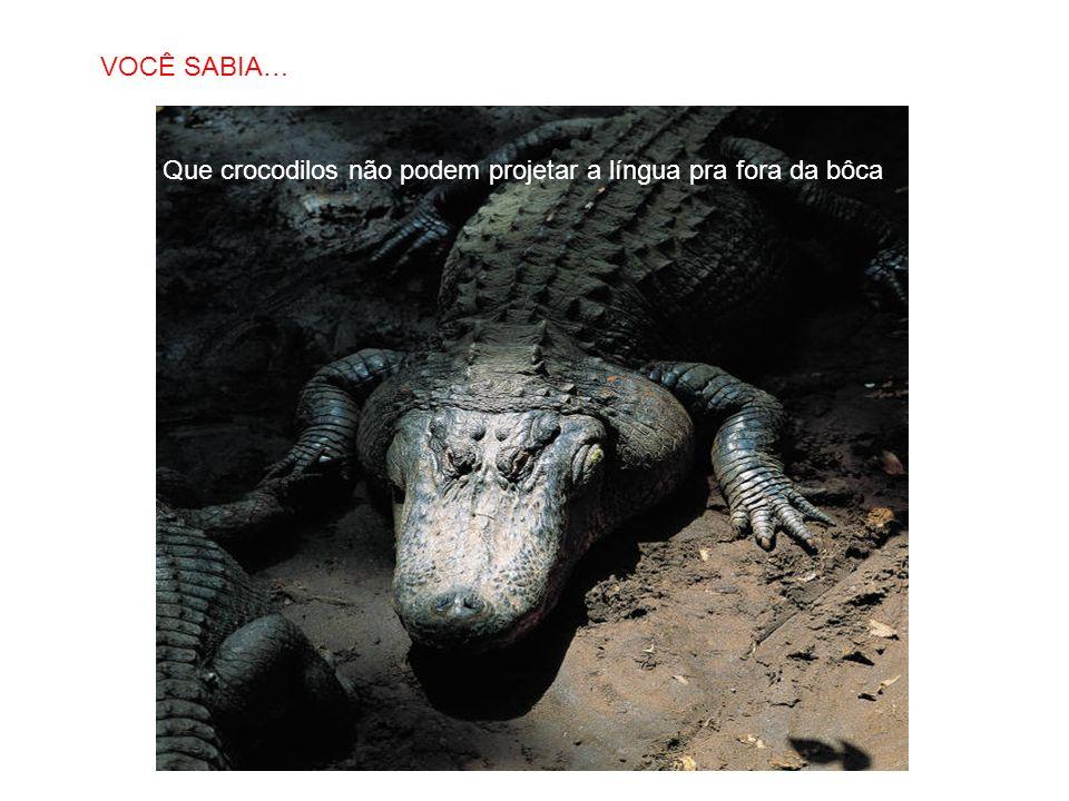 SABIAS QUE… Que crocodilos não podem projetar a língua pra fora da bôca VOCÊ SABIA…