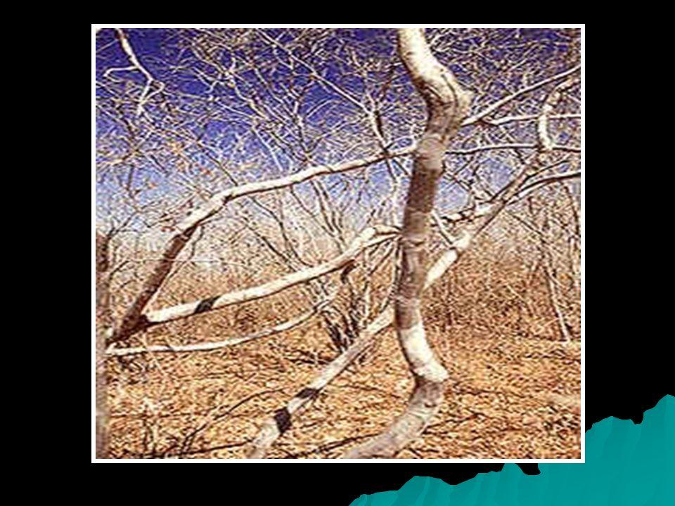 A CAATINGA A caatinga ( mato branco ) é uma extensa região do nordeste brasileiro, que ocupa mais de 70% de sua área (11% do território brasileiro) A caatinga ( mato branco ) é uma extensa região do nordeste brasileiro, que ocupa mais de 70% de sua área (11% do território brasileiro)