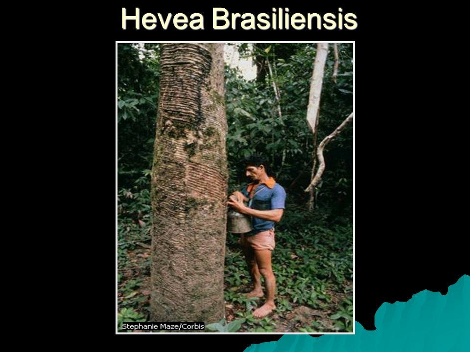 Hevea Brasiliensis
