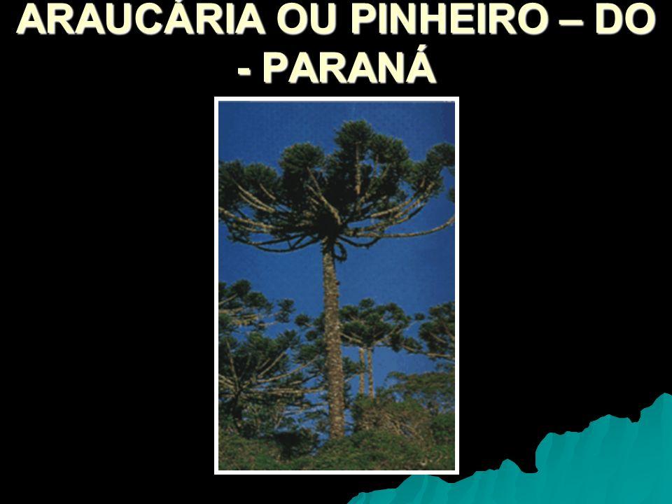 ARAUCÁRIA OU PINHEIRO – DO - PARANÁ