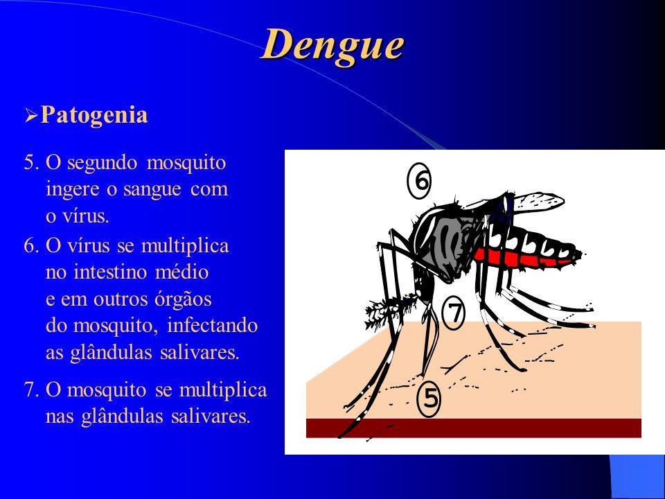 Dengue 6 7 5 5. O segundo mosquito ingere o sangue com o vírus. 6. O vírus se multiplica no intestino médio e em outros órgãos do mosquito, infectando