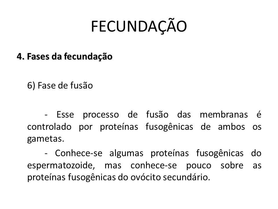 4. Fases da fecundação 6) Fase de fusão - Esse processo de fusão das membranas é controlado por proteínas fusogênicas de ambos os gametas. - Conhece-s