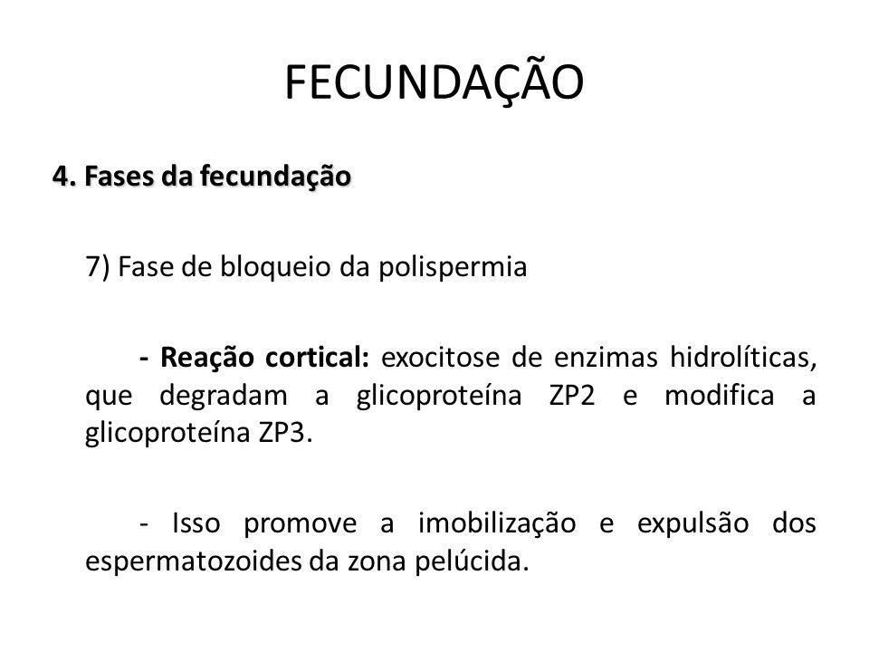 4. Fases da fecundação 7) Fase de bloqueio da polispermia - Reação cortical: exocitose de enzimas hidrolíticas, que degradam a glicoproteína ZP2 e mod