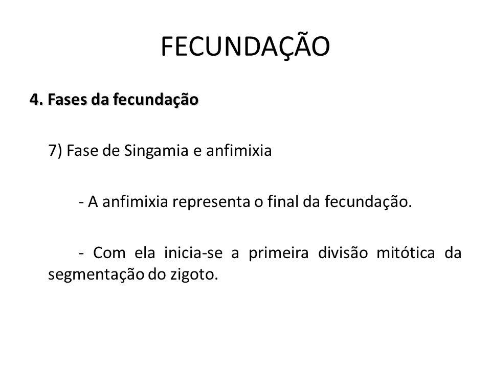 4. Fases da fecundação 7) Fase de Singamia e anfimixia - A anfimixia representa o final da fecundação. - Com ela inicia-se a primeira divisão mitótica