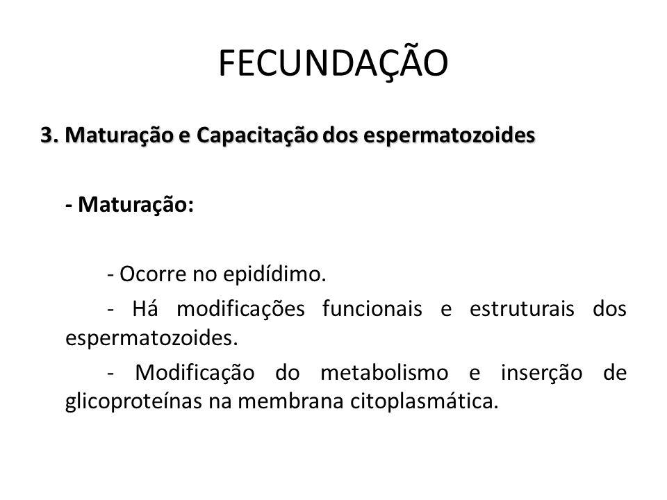 3. Maturação e Capacitação dos espermatozoides - Maturação: - Ocorre no epidídimo. - Há modificações funcionais e estruturais dos espermatozoides. - M