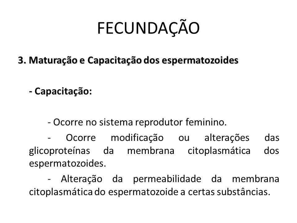 3. Maturação e Capacitação dos espermatozoides - Capacitação: - Ocorre no sistema reprodutor feminino. - Ocorre modificação ou alterações das glicopro