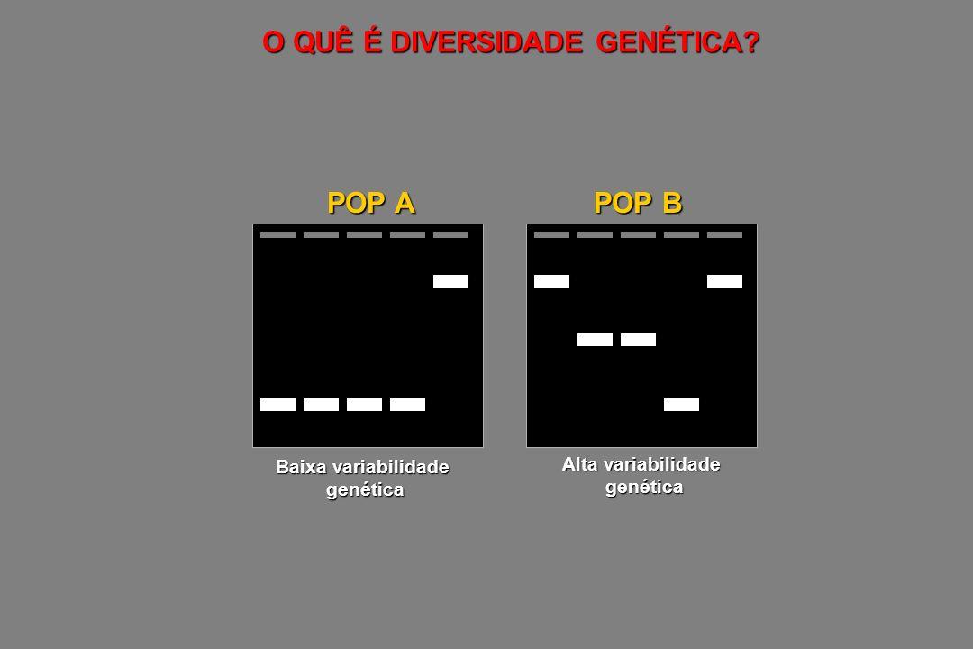 O QUÊ É DIVERSIDADE GENÉTICA? Baixa variabilidade genética Alta variabilidade genética POP A POP B