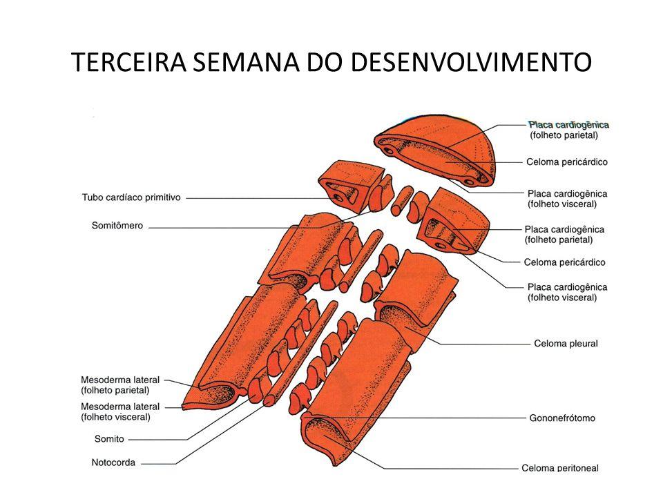 TERCEIRA SEMANA DO DESENVOLVIMENTO