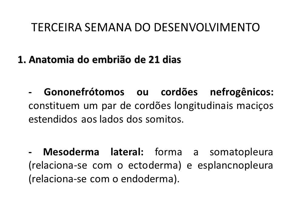 1. Anatomia do embrião de 21 dias - Gononefrótomos ou cordões nefrogênicos: constituem um par de cordões longitudinais maciços estendidos aos lados do