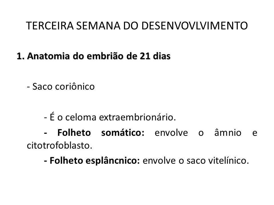 1. Anatomia do embrião de 21 dias - Saco coriônico - É o celoma extraembrionário. - Folheto somático: envolve o âmnio e citotrofoblasto. - Folheto esp