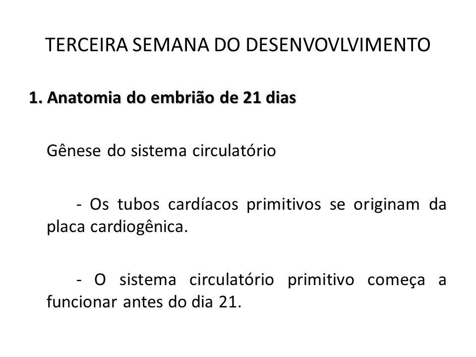 1. Anatomia do embrião de 21 dias Gênese do sistema circulatório - Os tubos cardíacos primitivos se originam da placa cardiogênica. - O sistema circul