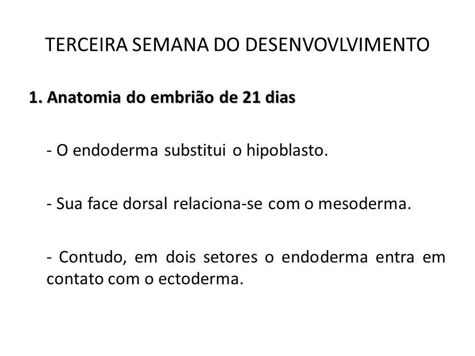 1. Anatomia do embrião de 21 dias - O endoderma substitui o hipoblasto. - Sua face dorsal relaciona-se com o mesoderma. - Contudo, em dois setores o e