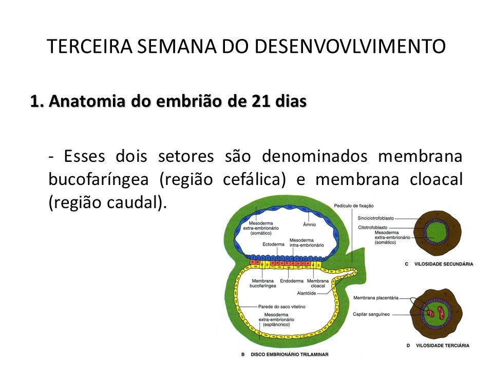 1. Anatomia do embrião de 21 dias - Esses dois setores são denominados membrana bucofaríngea (região cefálica) e membrana cloacal (região caudal). TER