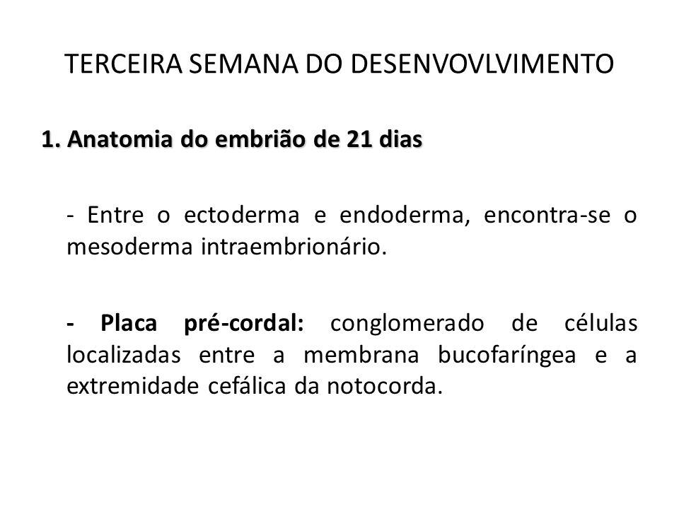 1. Anatomia do embrião de 21 dias - Entre o ectoderma e endoderma, encontra-se o mesoderma intraembrionário. - Placa pré-cordal: conglomerado de célul