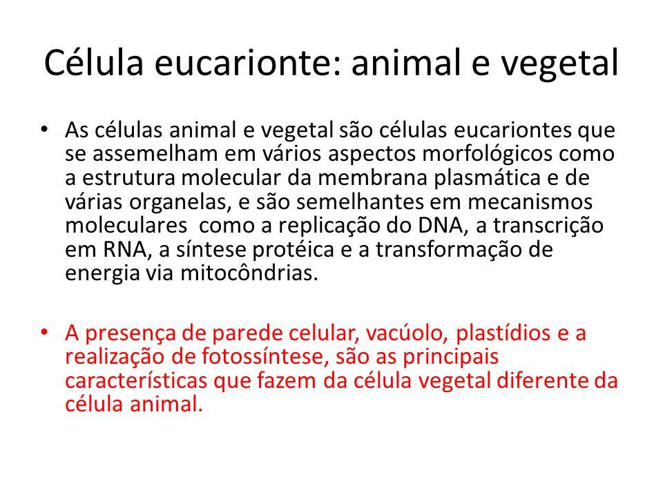 Célula eucarionte: animal e vegetal As células animal e vegetal são células eucariontes que se assemelham em vários aspectos morfológicos como a estru