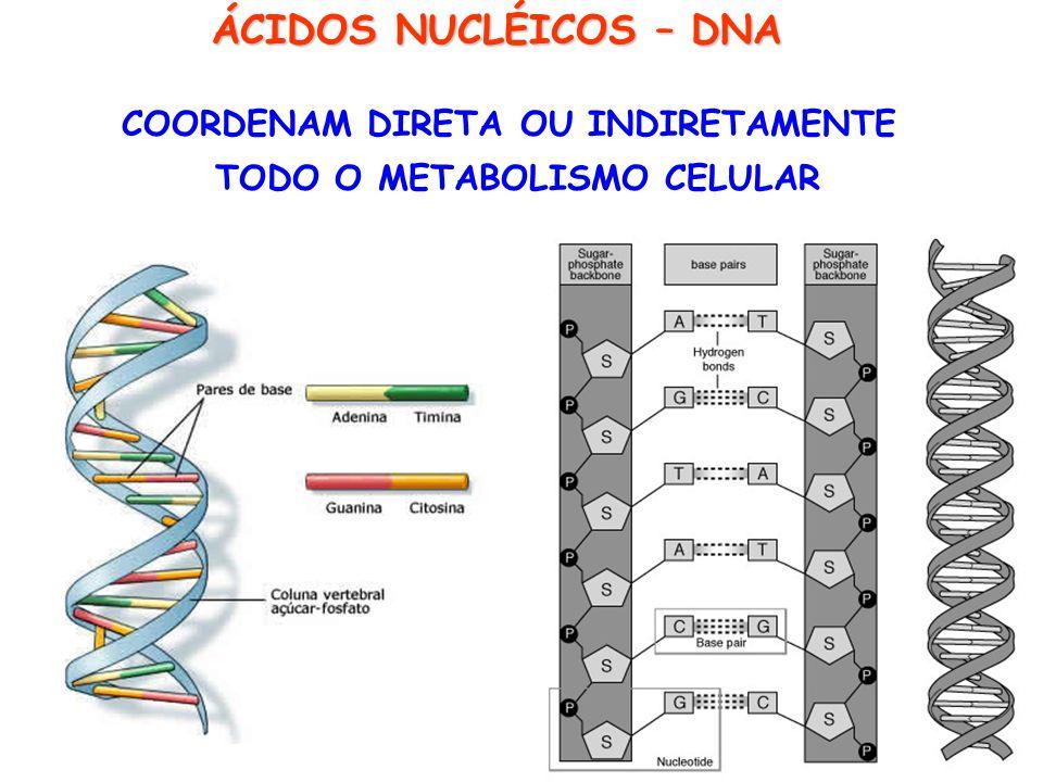 COORDENAM DIRETA OU INDIRETAMENTE TODO O METABOLISMO CELULAR ÁCIDOS NUCLÉICOS – DNA