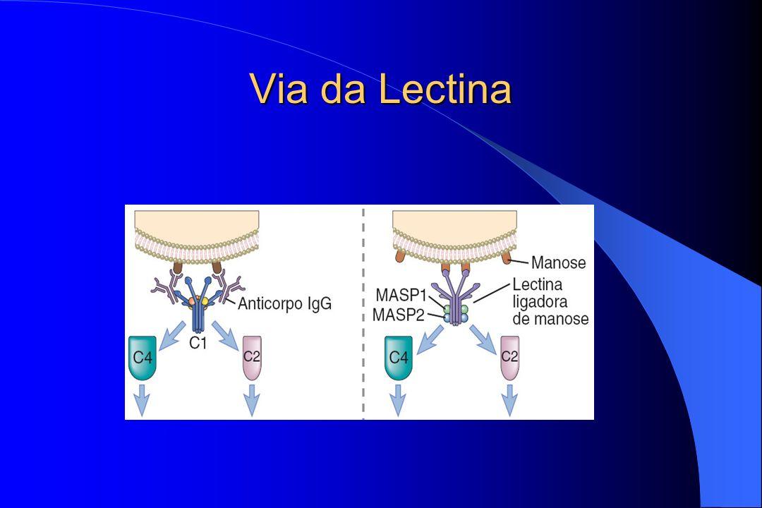 Vias de Ativação Via da Lectina Ligação da lectina plasmática a um resíduo de manose presente no microorganismo