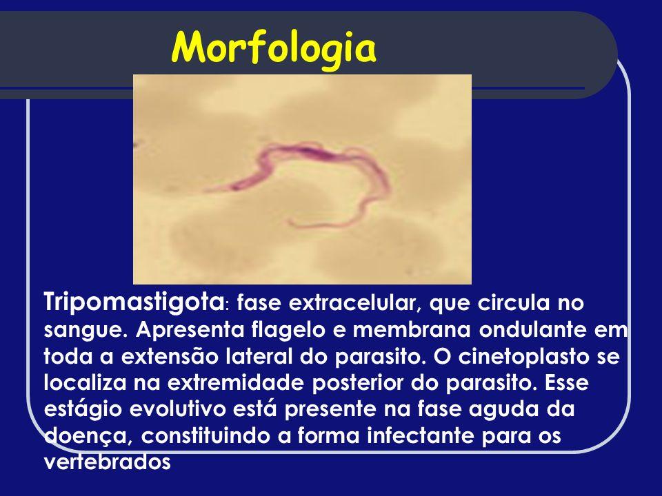 Tripomastigota : fase extracelular, que circula no sangue. Apresenta flagelo e membrana ondulante em toda a extensão lateral do parasito. O cinetoplas