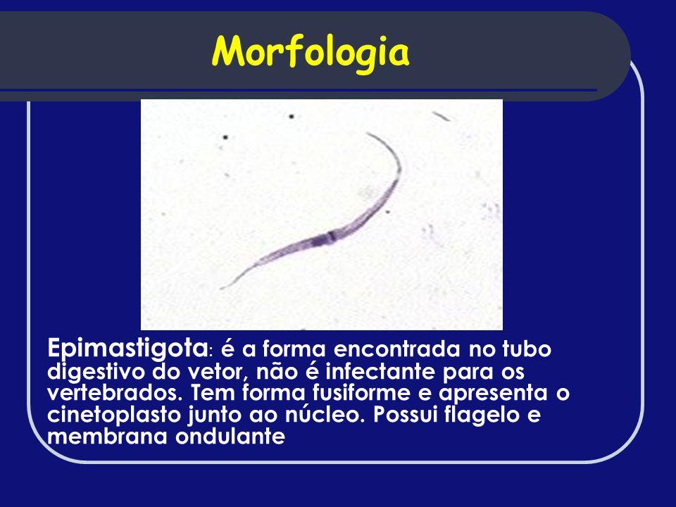 Epimastigota : é a forma encontrada no tubo digestivo do vetor, não é infectante para os vertebrados. Tem forma fusiforme e apresenta o cinetoplasto j