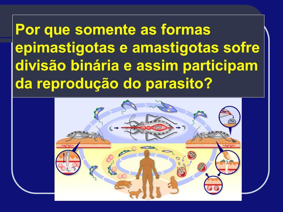 Por que somente as formas epimastigotas e amastigotas sofre divisão binária e assim participam da reprodução do parasito?